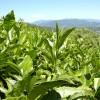 Основные лечебные свойства зеленого чая